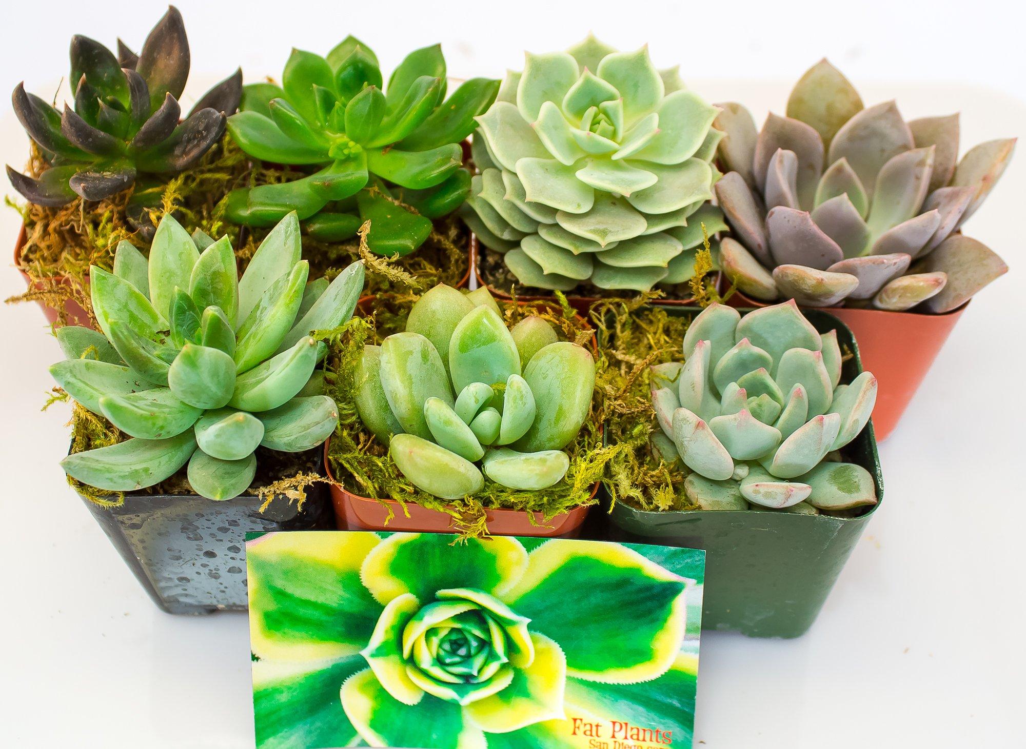 Fat Plants San Diego All Rosette Succulent Plants in 2 Inch Pots (7)