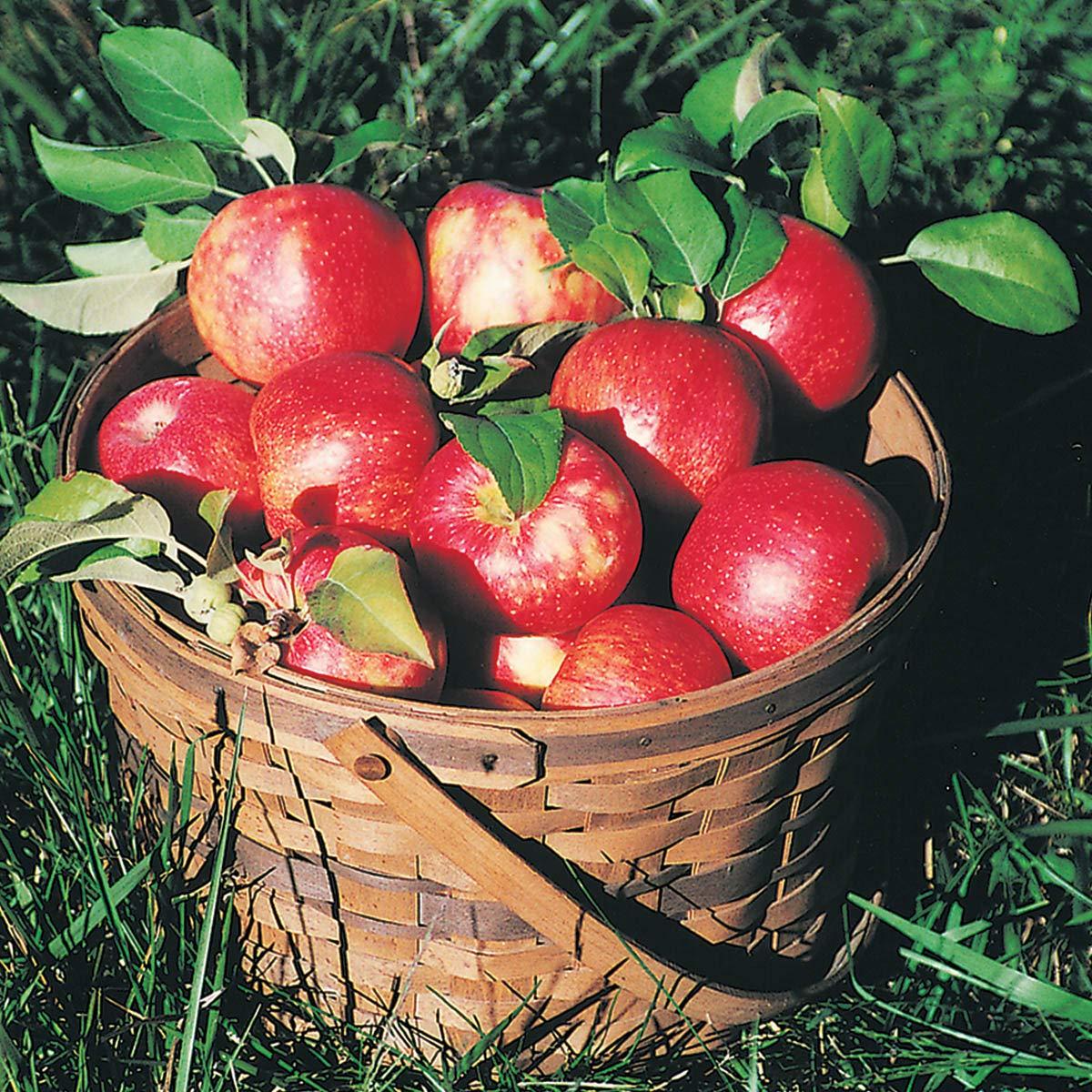 Honeycrisp Apple Fruit Tree, Live Bareroot Tree (1-Pack by Gurneys (Image #2)