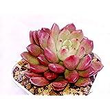 K S TRADING CORPORATION Live Succulent Plant Graptoveria Bashful