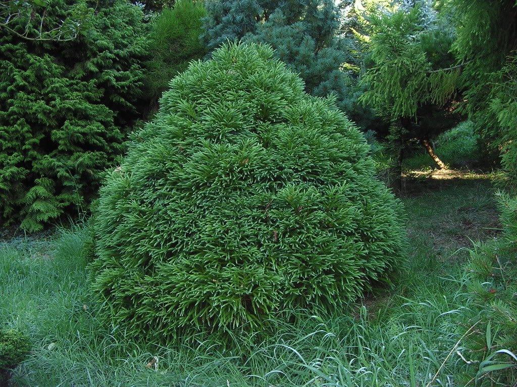 Cryptomeria globosa Nana (Dwarf Japanese Cedar), 1 GAL