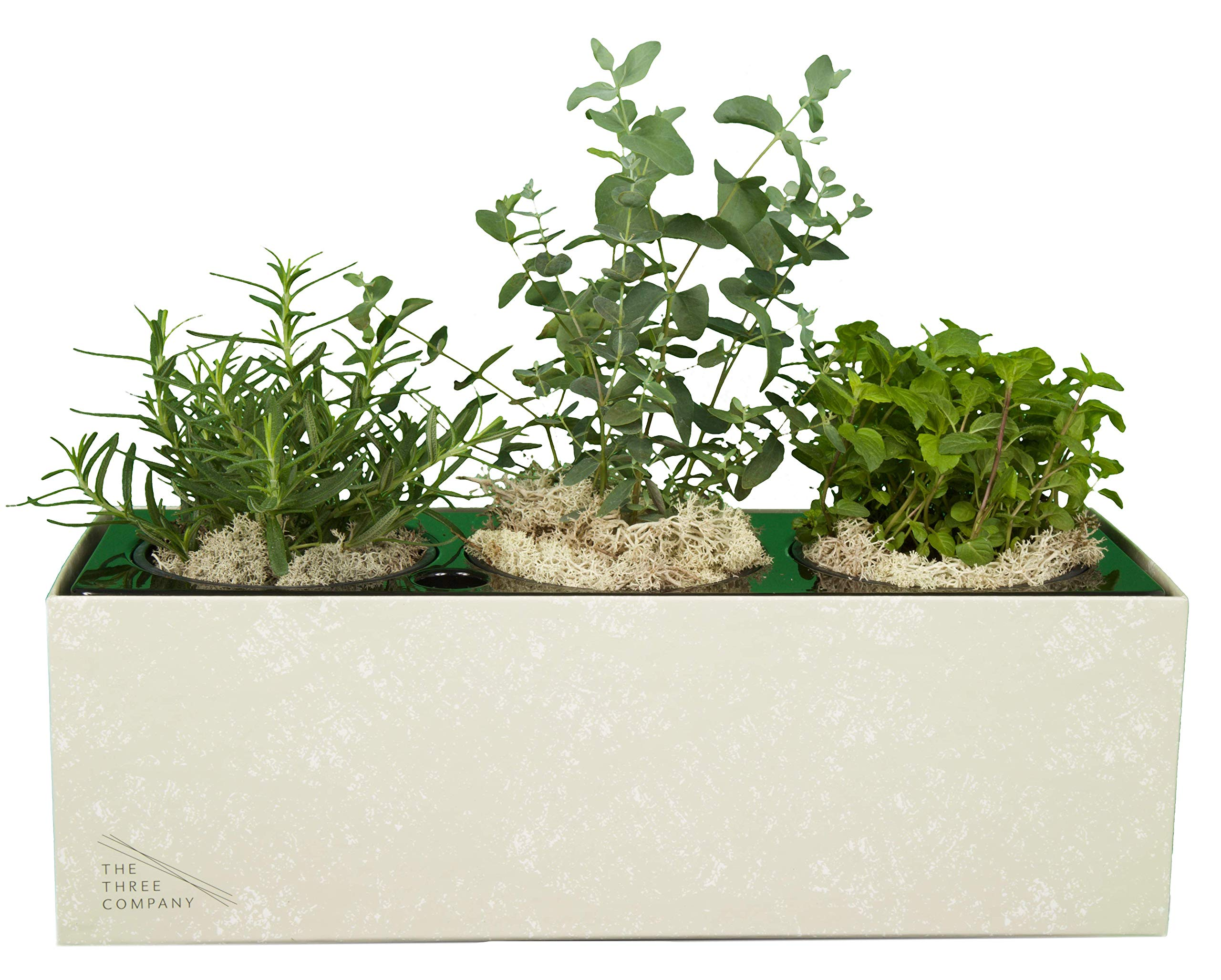 The Three Company Air Purifying Live Herb Combo in in Self Watering Planter ((Eucalyptus, Mint, Chamomile), Easy Care, Display