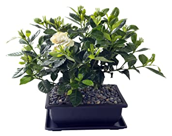 Elegant KaBloom Gardenia Bonsai Tree In A 8x10 Inch Black Bonsai Pot With Accenting  Rock Pebbles