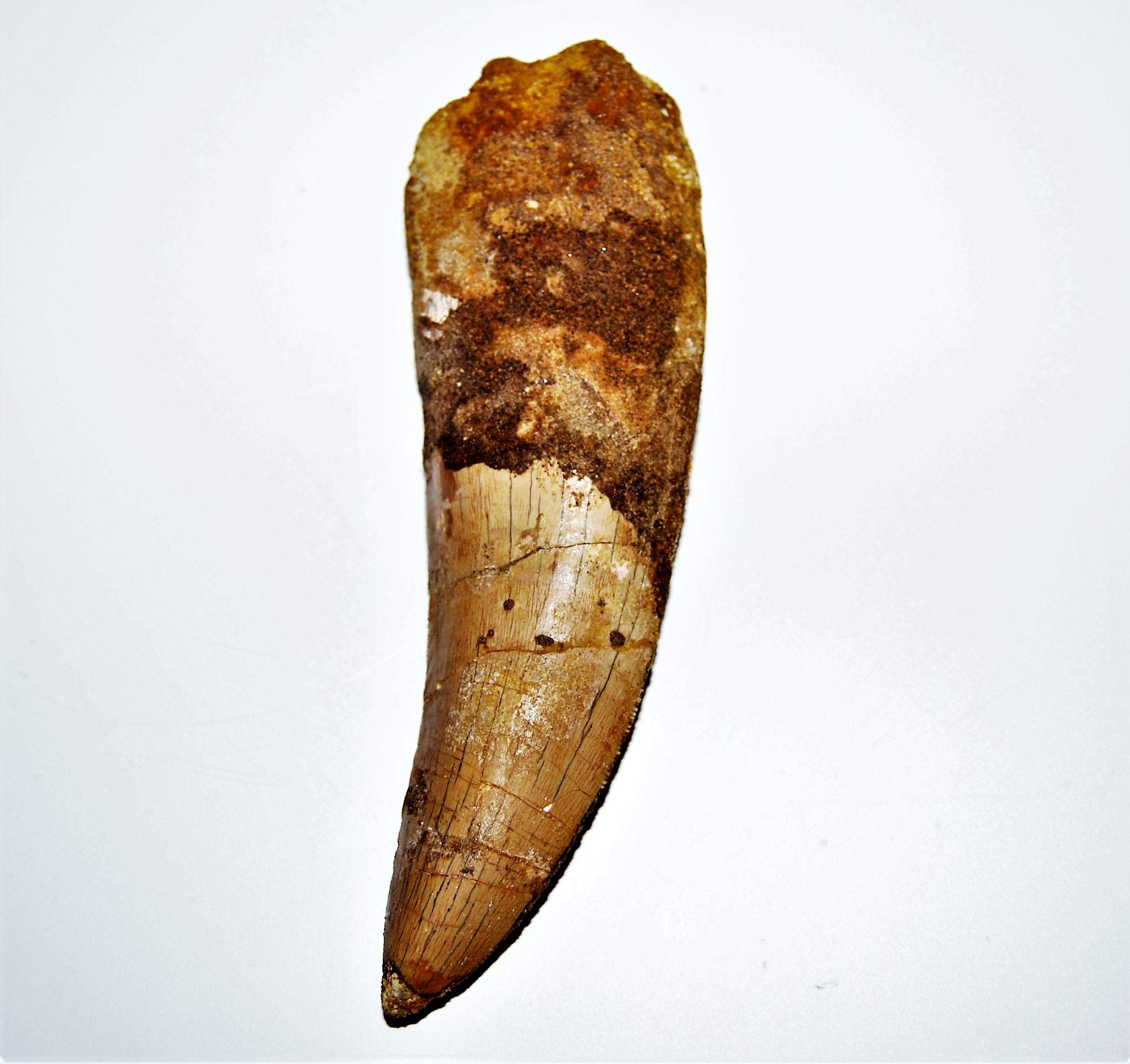 Carcharodontosaurus Dinosaur Tooth 5.012'' Fossil African T-Rex XLDB #14158 23o by Fossils, Meteorites, & More (Image #2)
