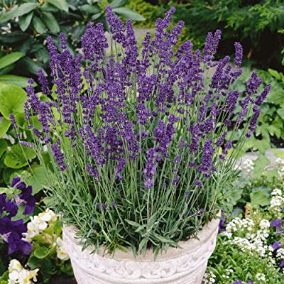 Vera Lavender Herb, 1000+ Premium Heirloom Seeds, Beautiful Addition to Your Home herb Garden! (Isla's Garden Seeds), Non GMO, 80-85% Germination Rates, Highest Quality Seeds : Garden & Outdoor