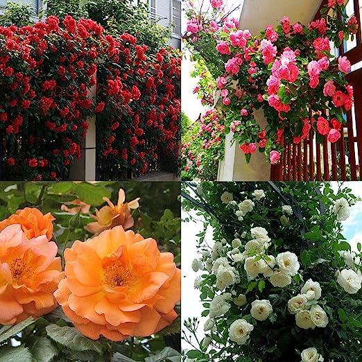 Portal Cool Blanca: 100 piezas rosales trepadores Semillas plantas perennes fragante jardÃn de flores Multiflora: Amazon.es: Hogar