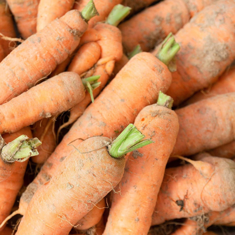 Carrot Seeds - Autumn King/Flakkee - 1 g Packet ~700 Seeds - Daucus carota VAR. sativus - Farm & Garden Vegetable Seeds - Non-GMO, Heirloom, Open Pollinated, Annual