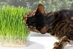 OrOlam Organic Cat Grass Kit Includes 1 Pot, 1 Soil Puck, 1 Packs Non GMO Wheatgrass Seed A Healthy Treat for Cats, Dogs, Rabbits, Prairie Dog, and Many More Pets Enjoy !