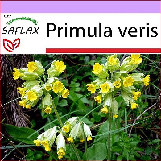 SAFLAX - Primavera - 100 semillas - Primula veris: Amazon.es: Jardín