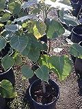 9EzTropical - Bodhi Plant FICUS RELIGIOSA - Sacred Fig Tree - 3 Feet Tall - Ship in 3 Gal Pot - Big Trunk
