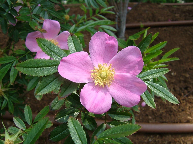 Wildrosenhecke - Glanz Rosen im 10er Paket Größe 30 bis 40 cm