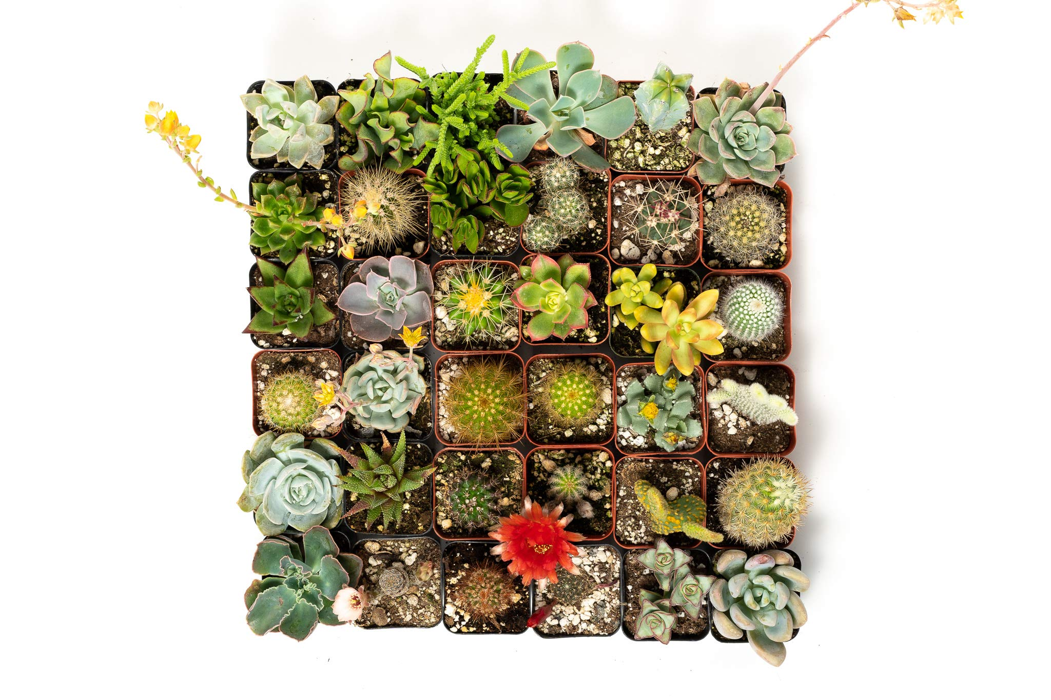 36 Succulent & Cactus Variety Pack- No Two Plants are Alike, Make Your Garden Unique with A Beautiful Collection of Succulents and Cacti - by Jiimz by Jiimz (Image #3)