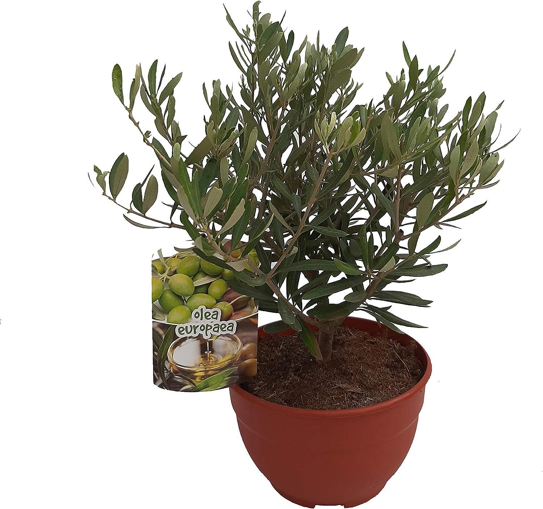 PePePlant - Olivo JUNIOR (olea europea) Árbol frutal. Perfecto ...