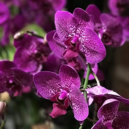 2 Pcs Purple Amaryllis Bulbs Beauty Bonsai Flowers Garden Viewing Decor..