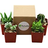 """Shop Succulents Pack of Four 2.5"""" Hardy Cacti and Succulent Plants (4)"""