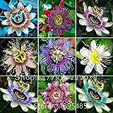 Passionsblume (Passiflora incarnata), 100pcs / bag reinen Live-Seed Certified, True Muttersamenpflanze für Heim & Garten