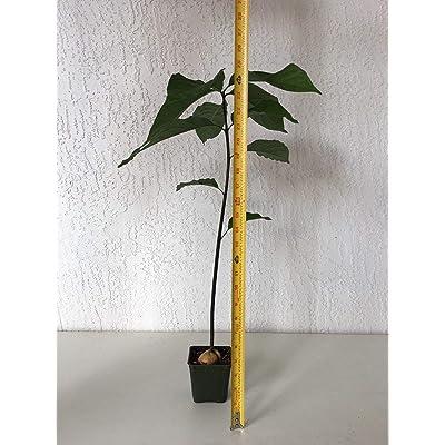 1 Avocado, AGUACATE, PALTA Tree Plant Organic. : Garden & Outdoor