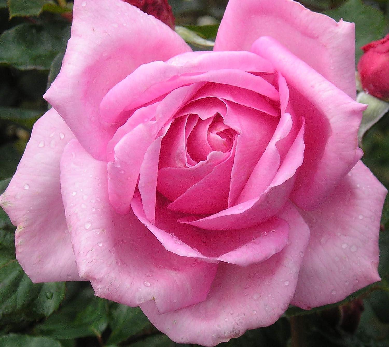 Millie , 4,5.5lt Potted Hybrid Tea Rose Bush , Highly Fragrant, Large Pink  Flowers