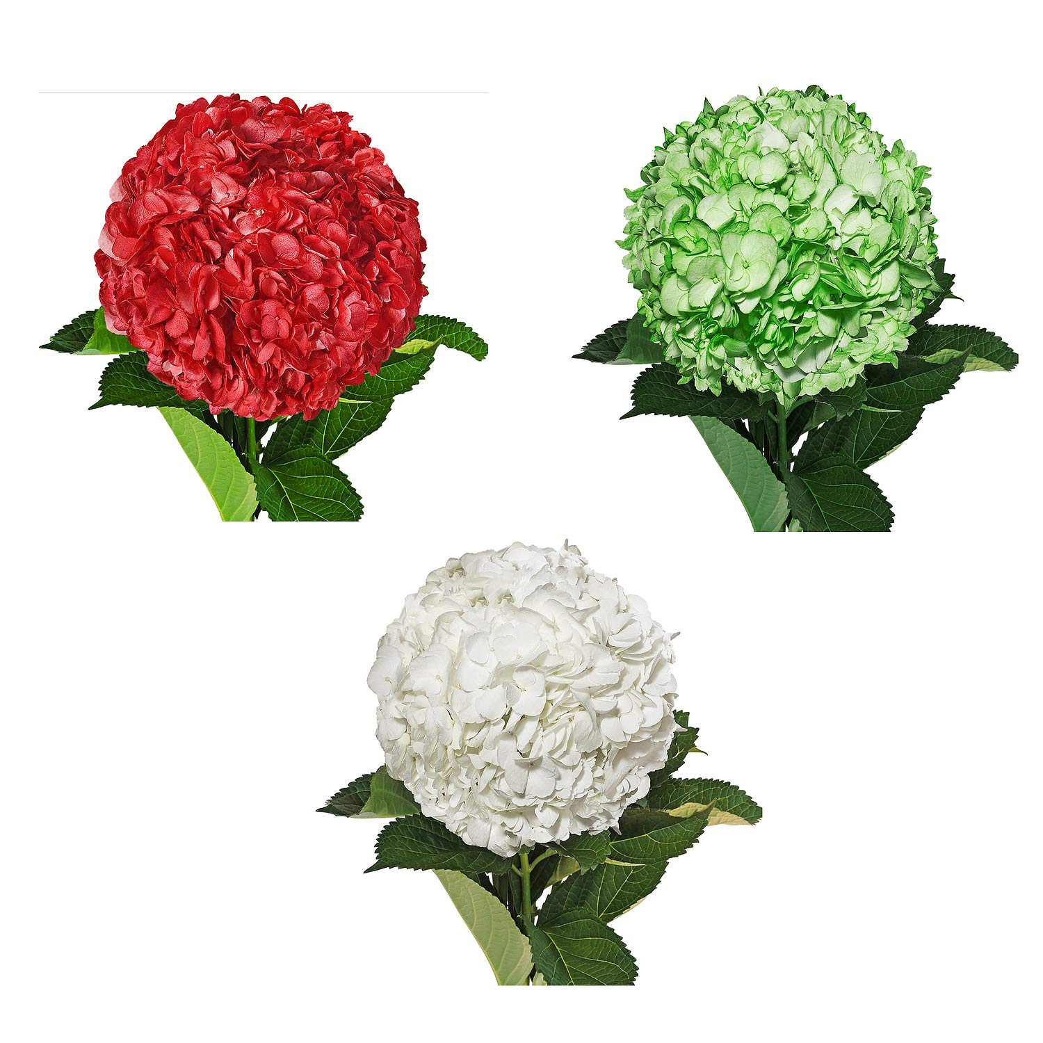 Farm Fresh Natural Painted Christmas Hydrangea combo - Pack 15