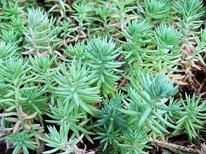 Amazon new blue spruce sedum reflexum succulent jennys new blue spruce sedum reflexum succulent jennys stonecrop yellow flower 50 seeds mightylinksfo