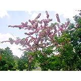 Seedstores : Rare Pink Shower Pink Cassia or Cassia Nodosa Tree Seeds 20 Nos