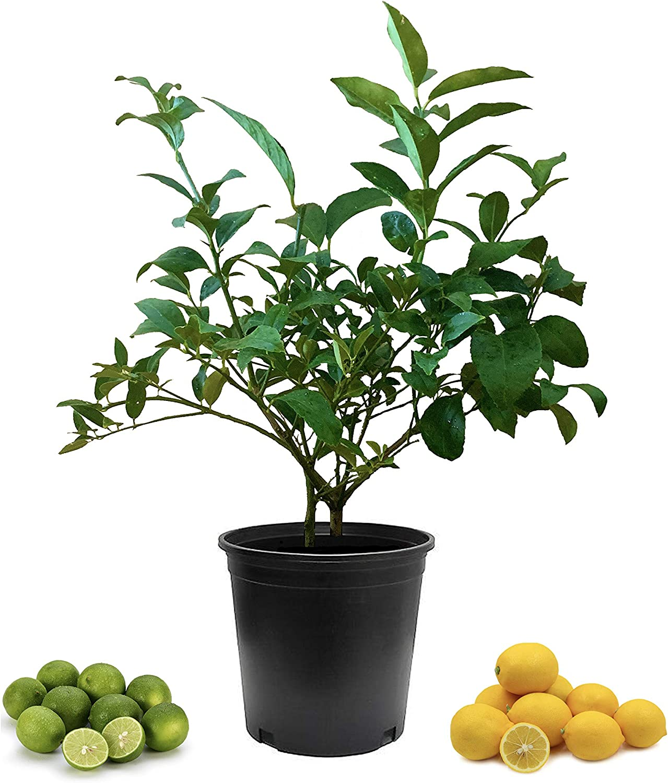 Bearss Lemon + Key Lime Tree - Only Ships to FL - Live Cocktail Tree