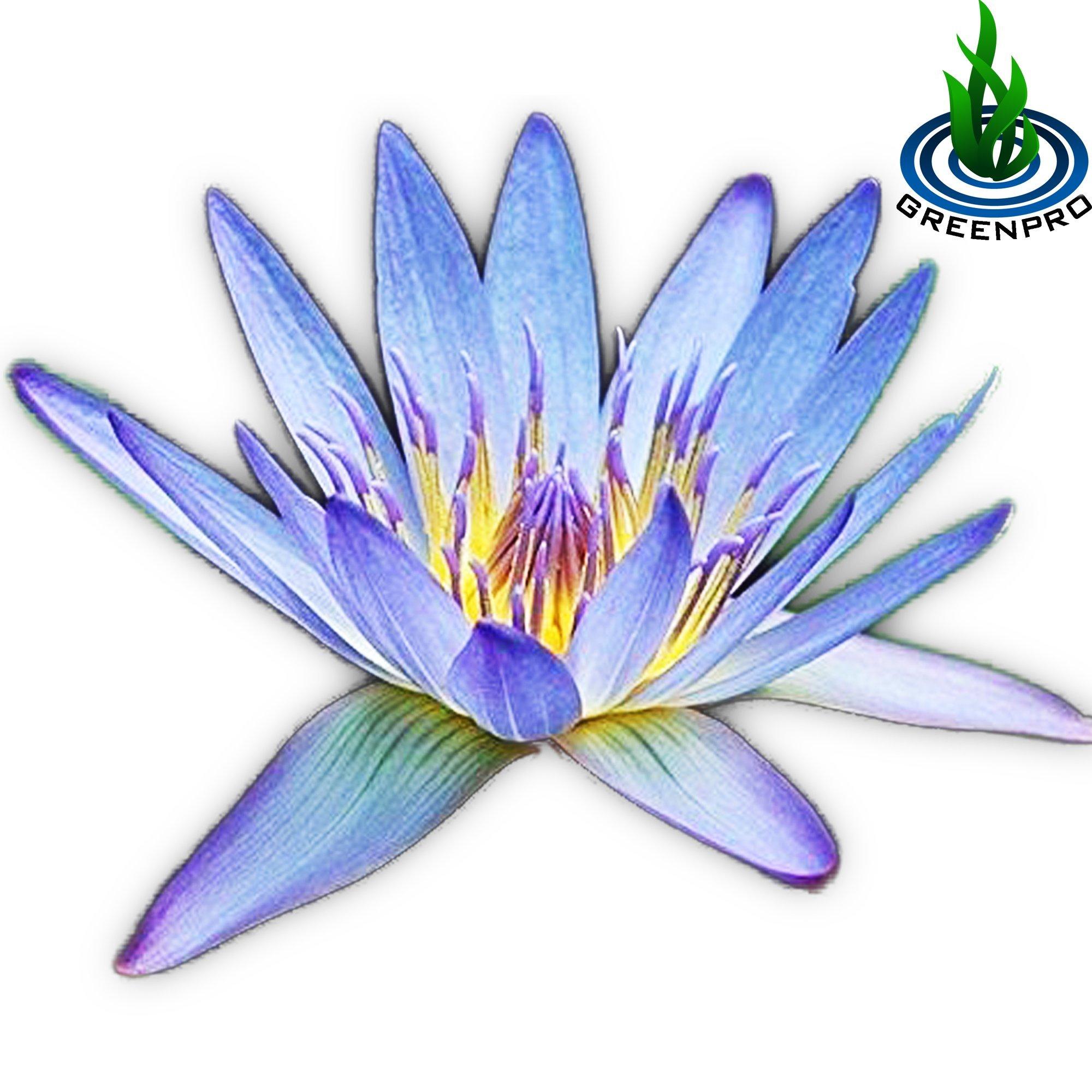 Live Aquatic Plant Nymphaea Geena Blue Tropical Water Lilies Tuber for Aquarium Freshwater Fish Pond by Greenpro