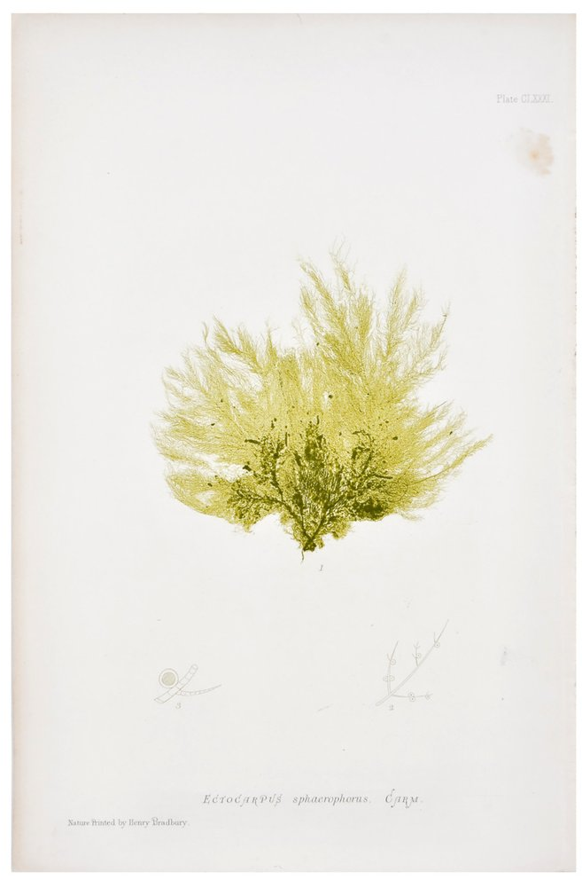 Ectocarpus Sphaerophorus Seaweed Print, c. 1872 | LEIF