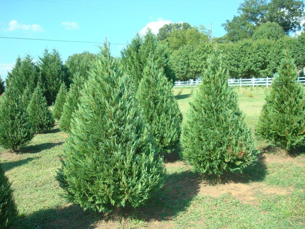 Leyland Cypress Trees, (10) 1-2 Feet