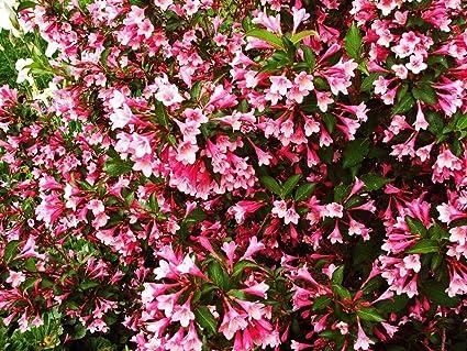 Amazon tango weigela maroon leaves dark pink flowers 1 tango weigela maroon leaves dark pink flowers 1 gallon live plant zones mightylinksfo
