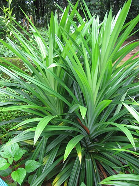 1 live Plant live Pandan plant Pandanus amaryllifolius
