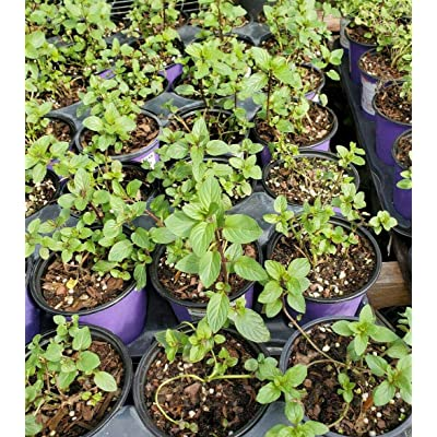 5 Inches Tall Chocolate Mint 1 Live Plants Garden tknies : Garden & Outdoor