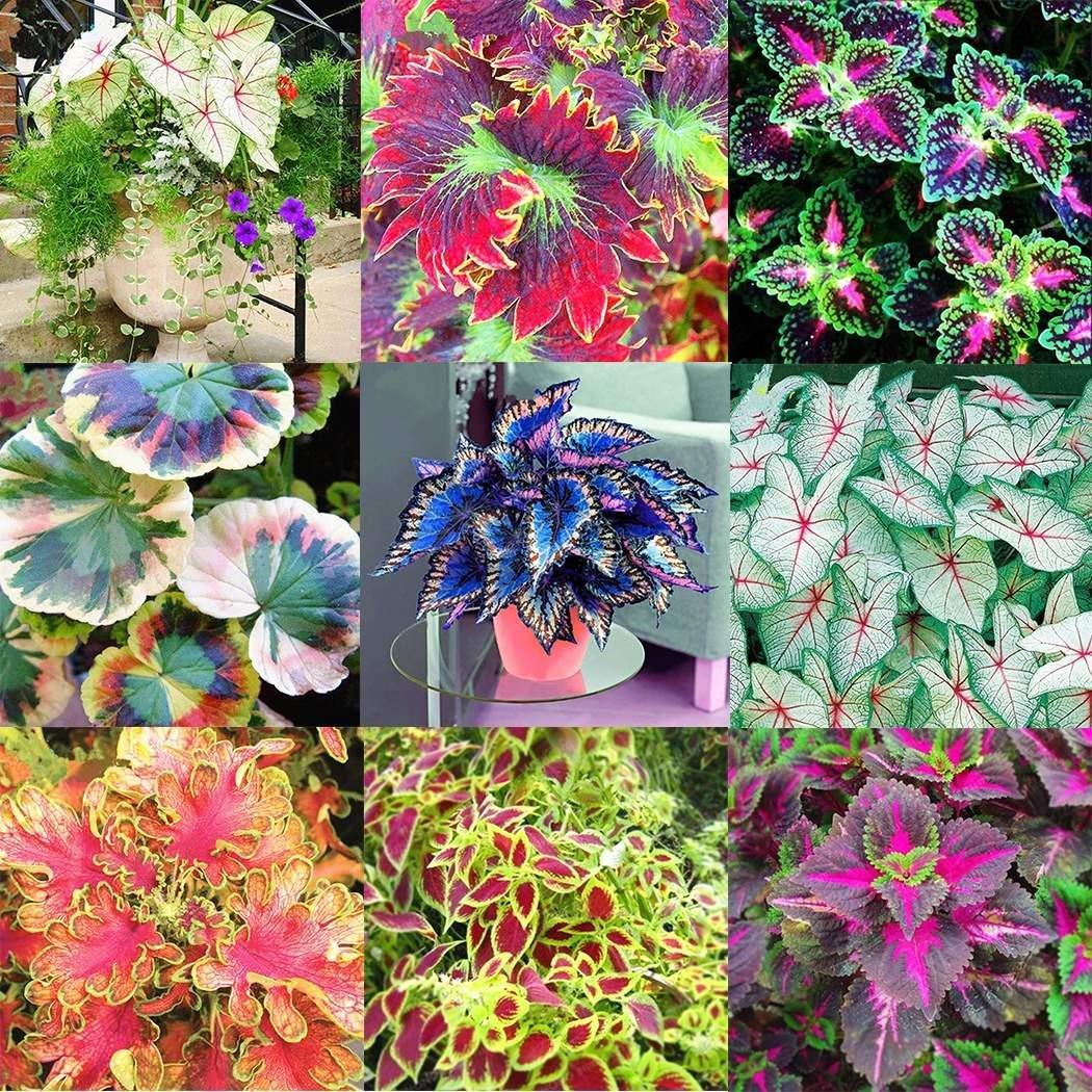 Idomeo 100pcs/Bag Coleus Seeds Bonsai Flower Leaf Plants Rainbow Dragon Seeds Garden Flowers