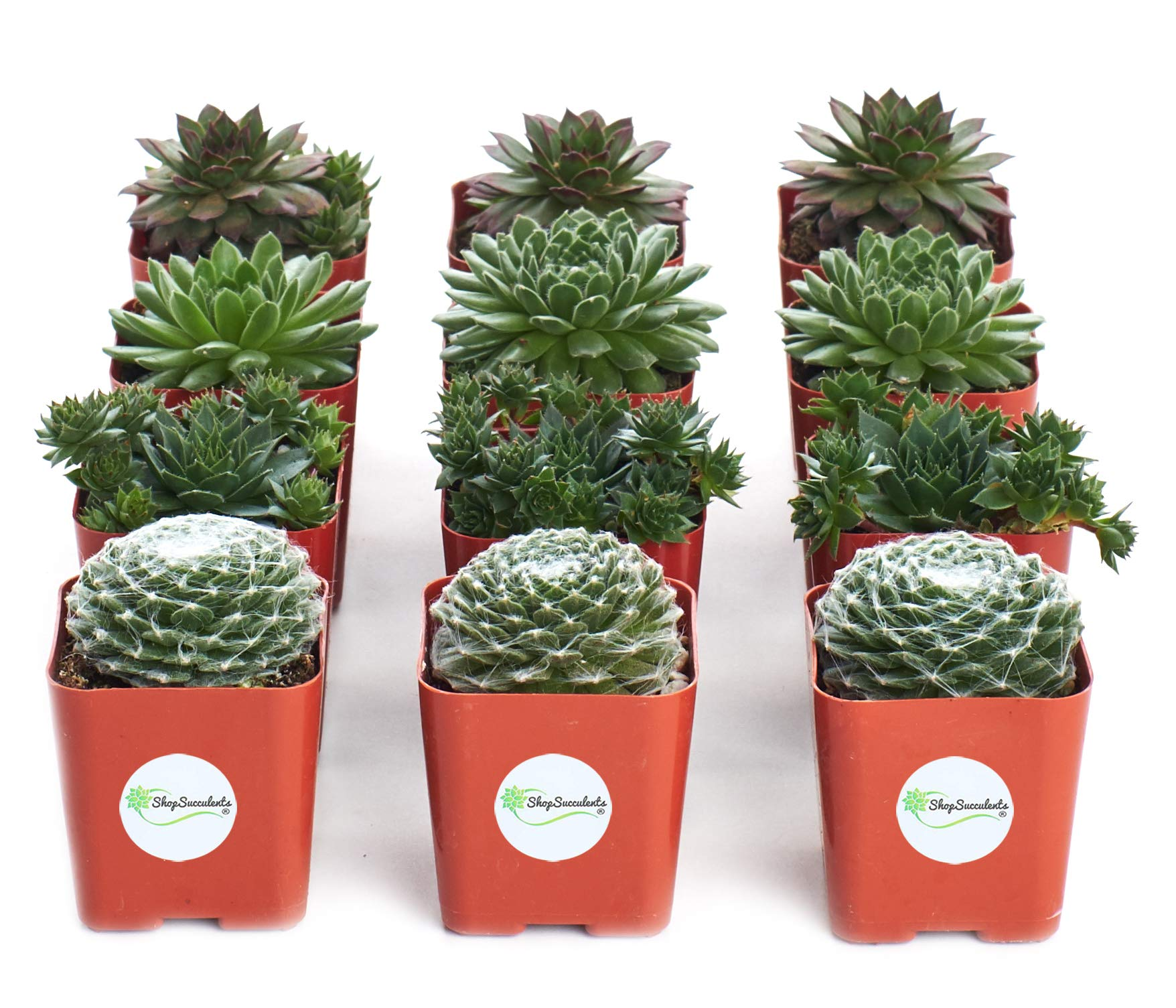 Shop Succulents | Sempervivum Hen and Chick, Hand Selected Variety Pack of Live Succulents | | Collection of 12 in 2'' pots, 12, Green