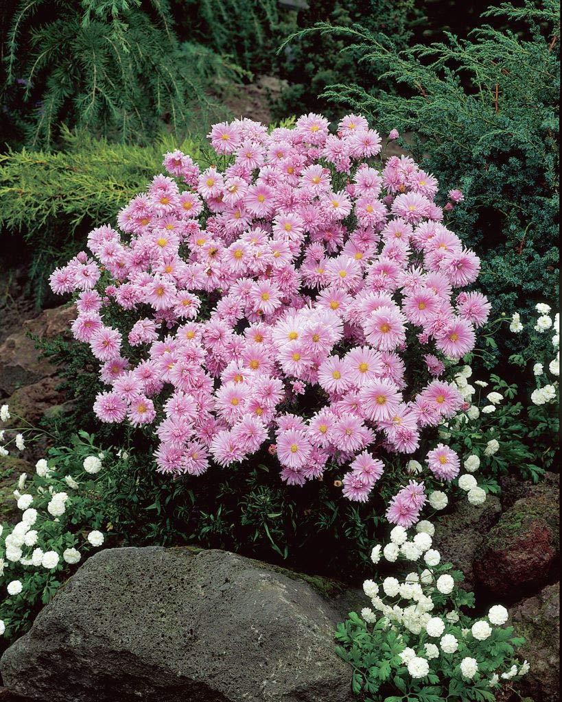 Aster Novi-belgii Fellowship - Michaelmas Daisy - 3 Plants in 9cm Pots IR Plant and Garden Centre