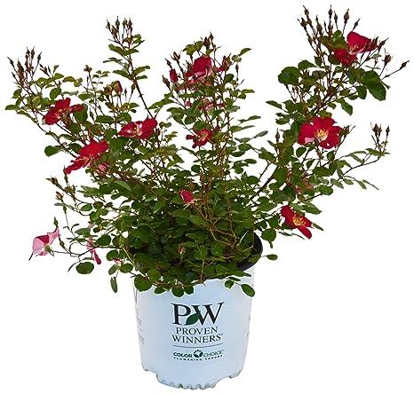 Amazon proven winners rosa oso easy cherry pie rose rose proven winners rosa oso easy cherry pie rose rose deep pink flowers mightylinksfo