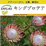 SAFLAX - 鉢植えセット - キングプロテア - 5 個の種。- ミニプラスチックグリーンハウス、鉢植え用土壌、鉢×2個を含みます - Protea cynaroides