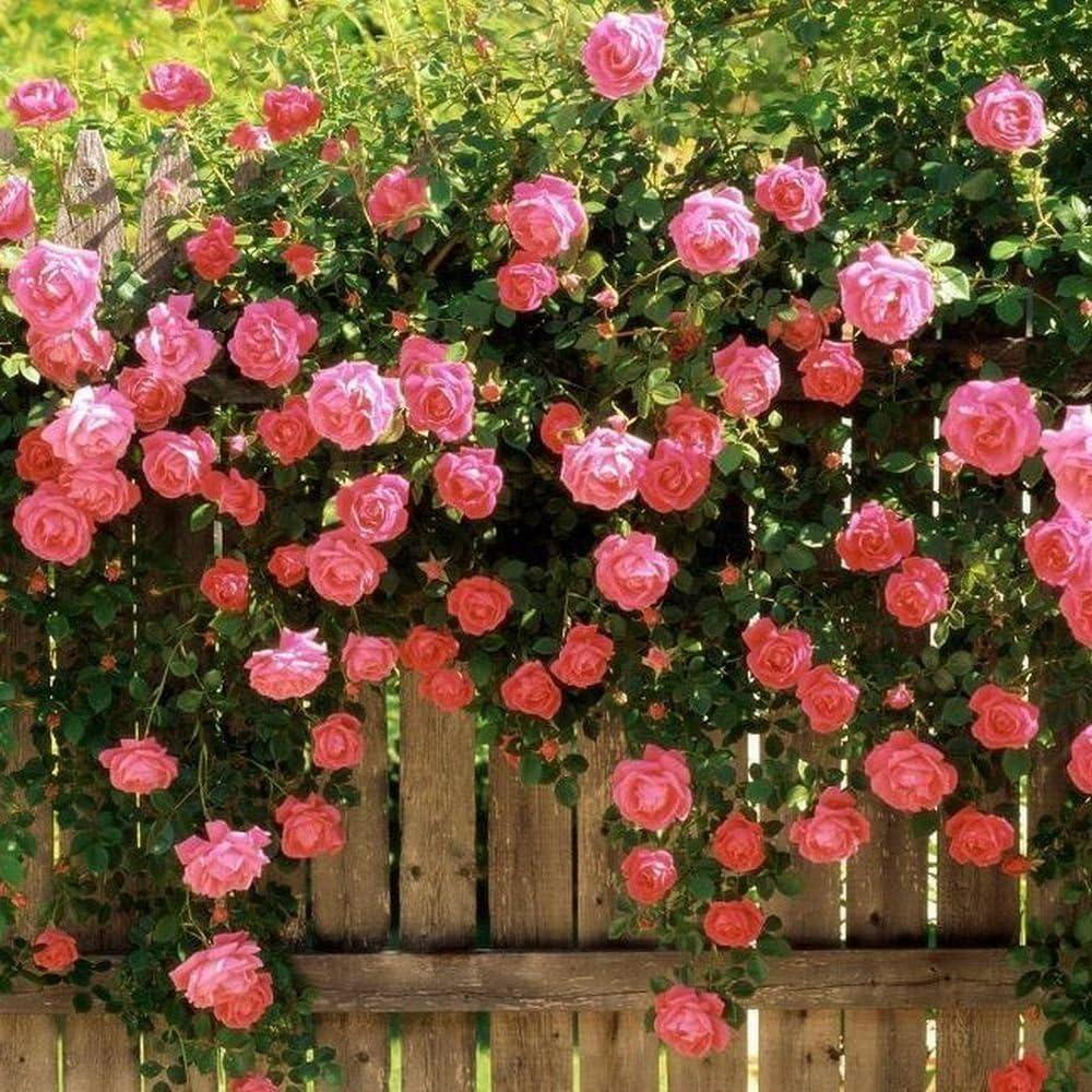 Amazon Com Pink Climbing Rose Arbor Trellis Garden Seeds Garden