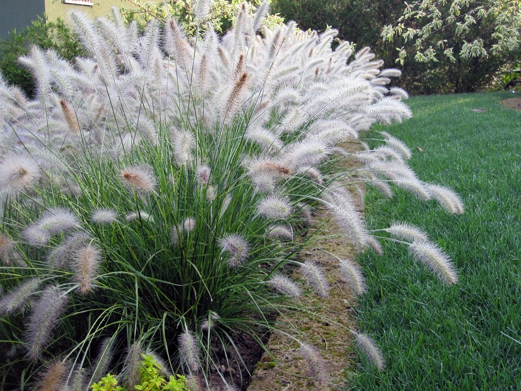 10 Ornamental Fountain Grass Seeds''Pennisetum Aloepecuroides Hameln'' | 99% Pure Seeds by Be On Organic