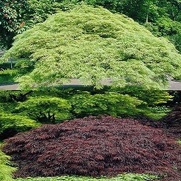 Japanische Ahornbäume Garnet Osakazuki 2 Bäume Amazonde Garten