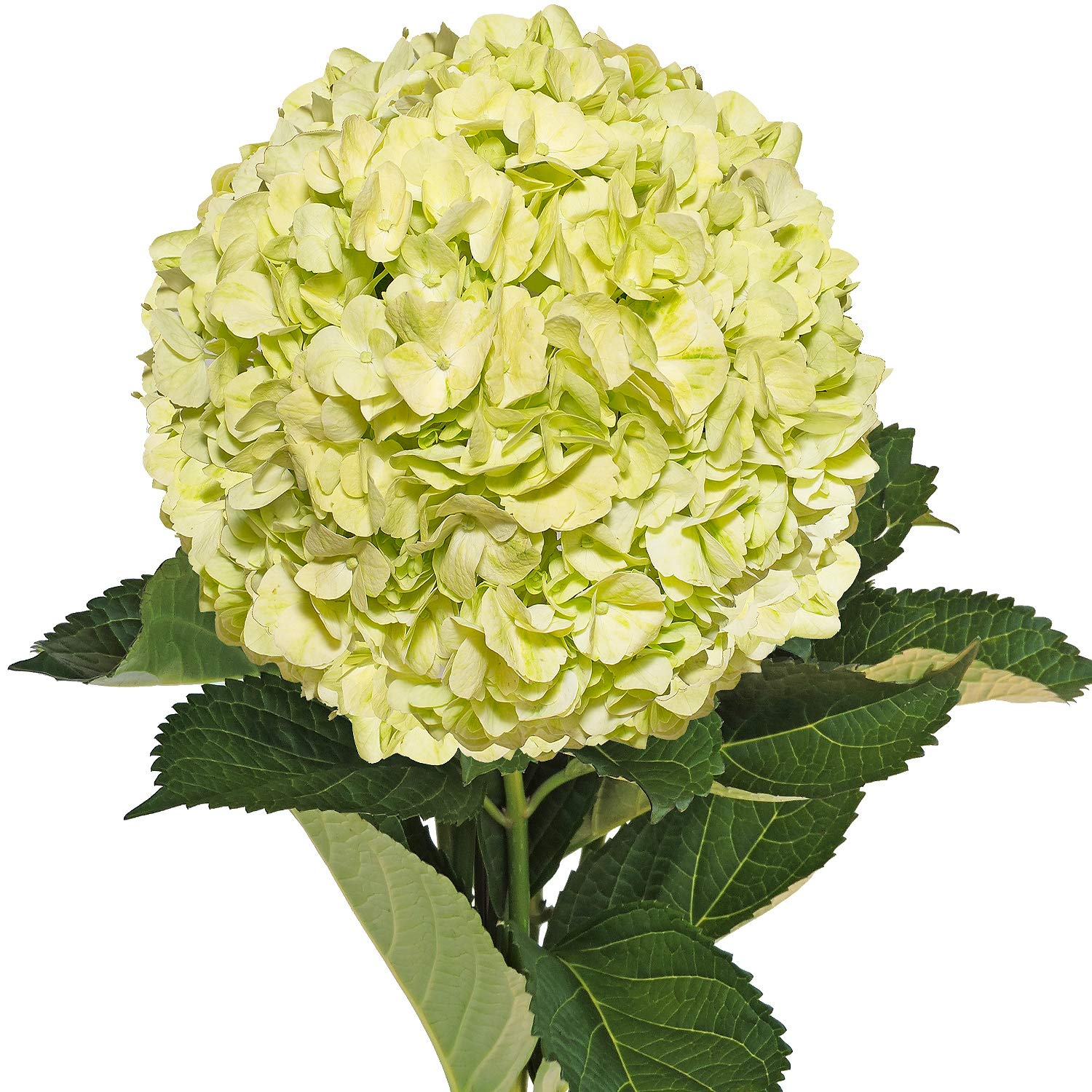 Farm Fresh Natural Lime Green Hydrangeas - Pack 30 by Bloomingmore