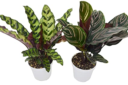 Amazon.com: 2 Calathea Variety Pack - Live Indoor House ... on tropical plant identification guide, plant watering guide, perennial plant identification guide, aquatic plant guide, north american edible plant guide, florida tropical plant guide, indoor plant identification guide, tropical flower guide,