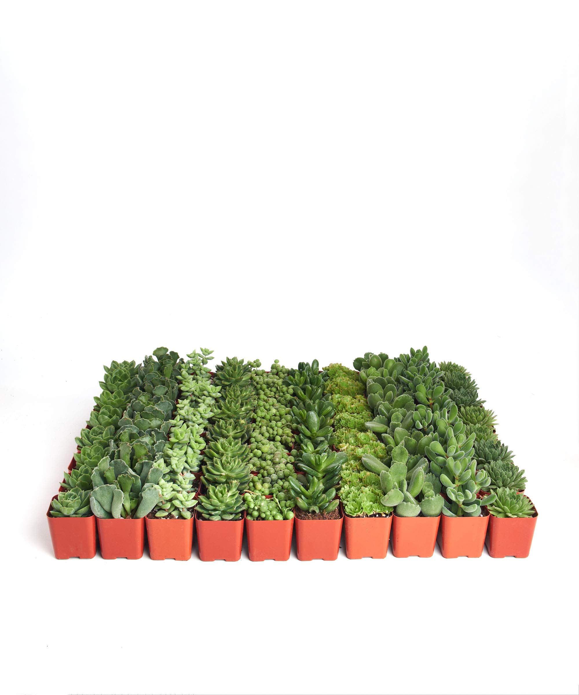 Shop Succulents Green Succulent (Collection of 36) by Shop Succulents (Image #2)