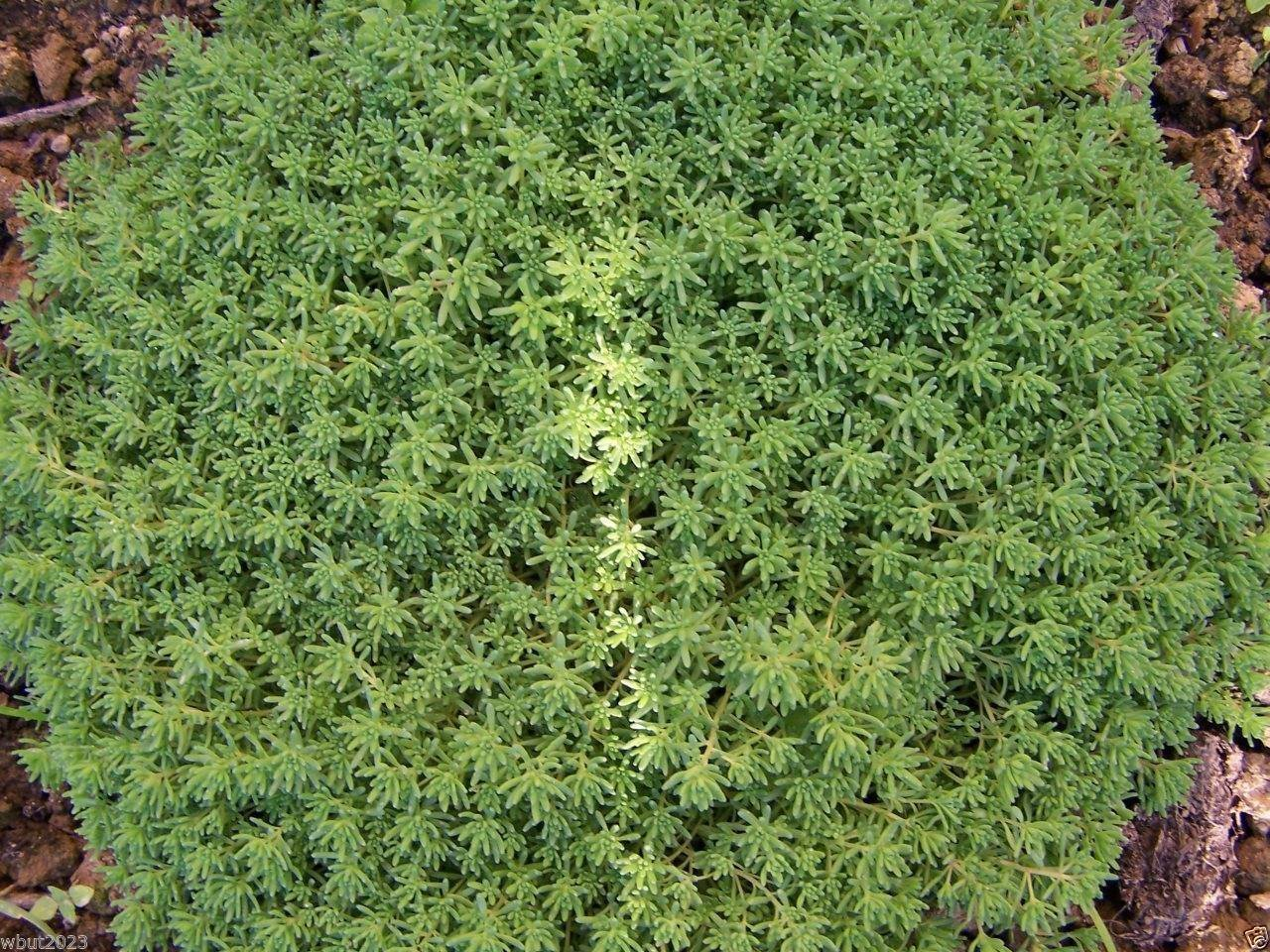 200 Sedum album Seeds - evergreen foliage Stonecrop - Extremely tough plant, SVI