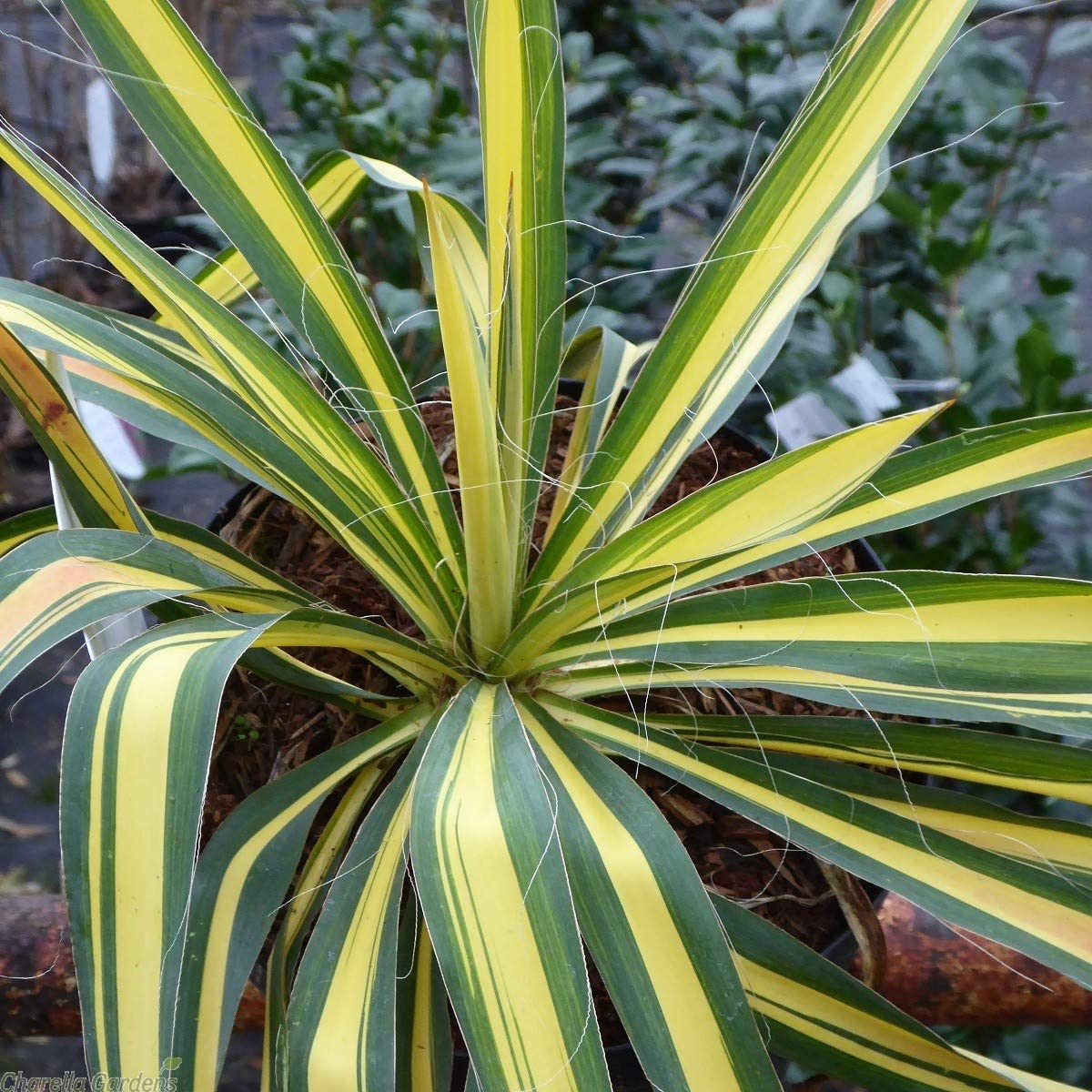 Yucca filamentosa Color Guard Adams Needle Plant in 9 cm Pot