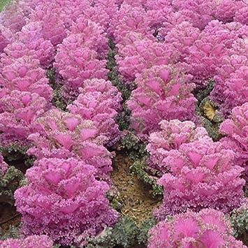 Amazon.com: Mejor Jardín semillas nuevo rare Brassica ...