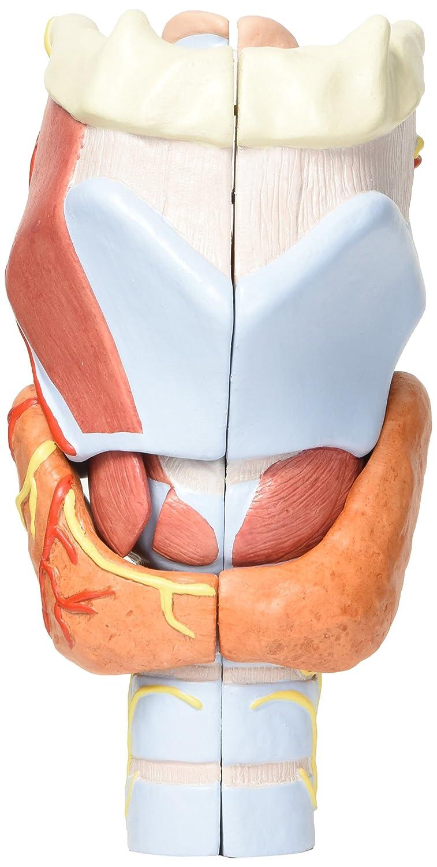 3B Scientific G21 Modelo de anatomía humana laringe, 2 Veces Su ...