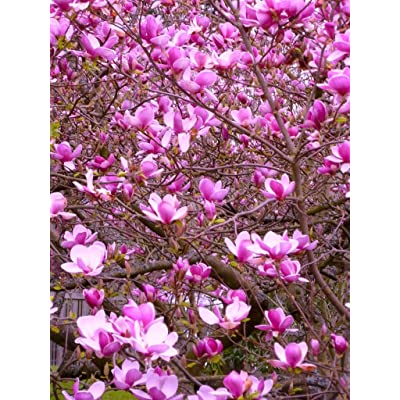 #1034VERY SHOWY! MAGNOLIA TULIP TREE7 seedsRARE: Toys & Games