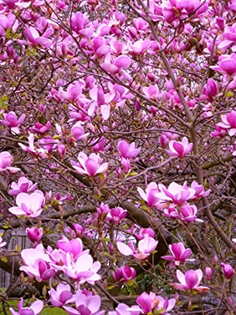 Amazoncom 1034 Very Showy Magnolia Tulip Tree 7 Seedsrare