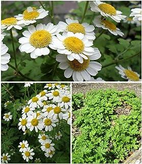 PLAT FIRM Germinazione dei semi: pianta più resistente lo so! Partenio, Magnoliophyta, erbe curative 2.000 semi freschi