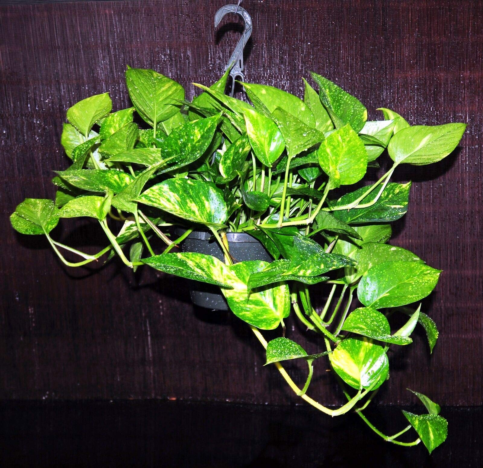 Huge Golden Pothos Very Large 8'' Hanging Basket Excellent Easy Houseplant (Premium Quality) by AY-Premium